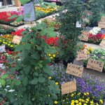 久山町の久山植木さんに!店前のお墓の展示場のお花を選びに