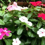 日日草(ニチニチソウ)の花がきれいに咲きました!【博多の森お墓の展示場】