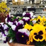 博多の森石材店前のパンジーの花が満開です!